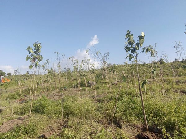 Plantation at Mhalunge site